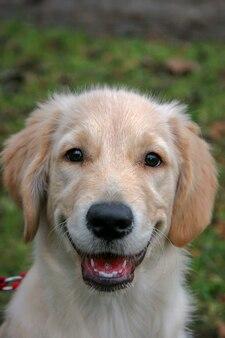 Улыбающийся щенок золотистого ретривера