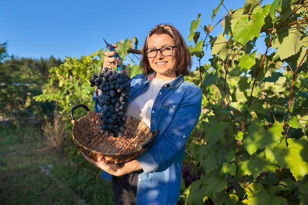 青ブドウの新鮮なカット大きなブドウの束を示す笑顔の幸せな女性の庭師。日没の背景に日当たりの良いブドウ園。ブドウ栽培、ガーデニング、趣味、レジャーのコンセプト
