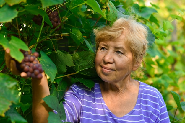 A smiling old woman harvesting grapes from a bush