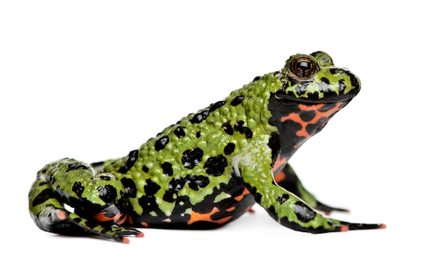 Smiling oriental fire-bellied toad, bombina orientalis, on white isolated