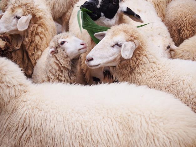 Smiling sheep in flock at livestock farm.