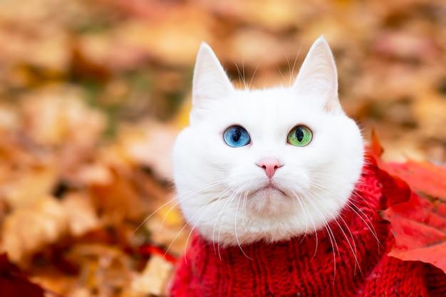 笑顔の白い猫、色とりどりの目、アンゴラの品種。秋の日に公園の紅葉に座ります。通りのセーターの動物。ペットは赤と黄色のカエデで遊んでいます。