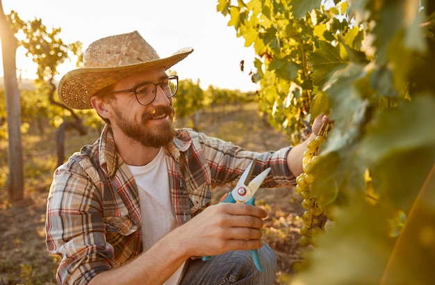 Smiling winemaker picking ripe grapes