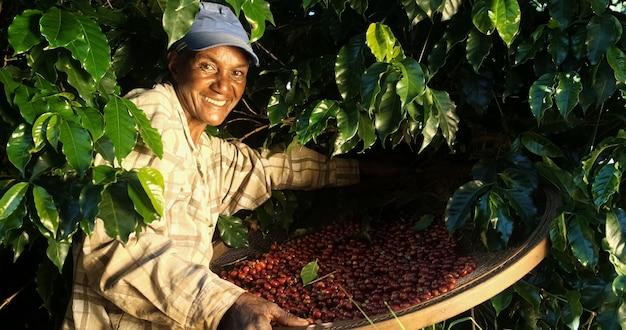 Улыбающаяся женщина из бразилии собирает семена красного кофе на кофейной плантации.