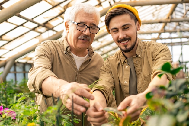 Smiling young bearded man in cap pruning leaves of plants with grandfather in greenhouse