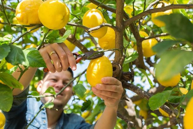 과수원에서 레몬 따기 수확 젊은 남자 농부 미소