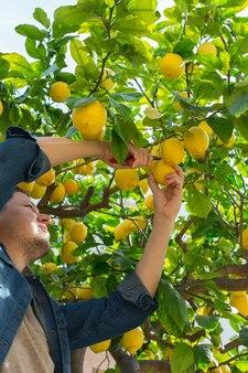 과수원에서 레몬 따기 수확 웃는 젊은 남자 농부