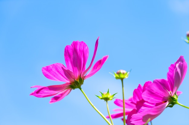 Smmer sky with pink fresh cosmos flowers