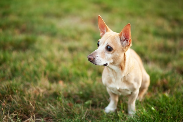 Smooth chihuahua dog on a walk. redhead chihuahua in the green grass of summer. a dog walks in the park on an autumn day. the concept of pets. happy pet in the wild. walk with the dog. dog is waiting