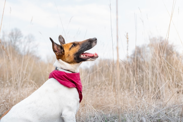 Smooth fox terrier portrait. young dog enjoys beautiful weather and sits in tall faded grass, spring season
