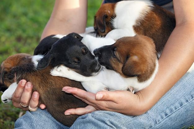 人間の手で眠っているスムースフォックステリアの子犬。家族の狩猟犬。公園の屋外。