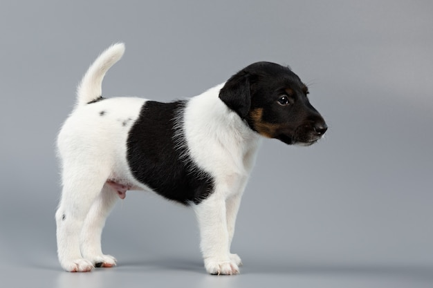 Smooth fox terrier. the puppy on a gray background, photographed close-up. hunting dog.