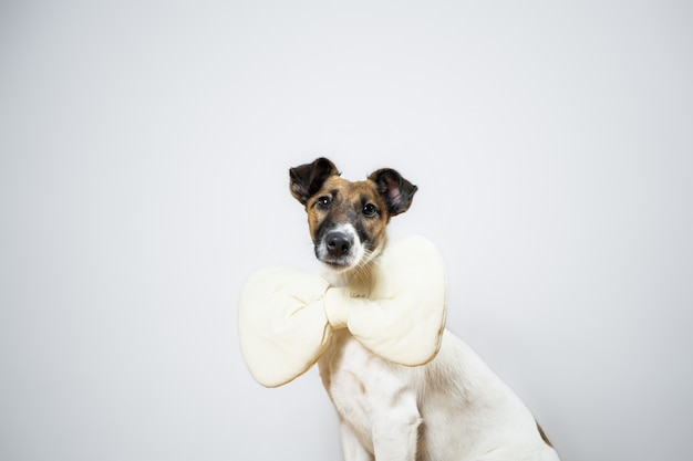 Smooth fox terrier puppy with toy bow tie sitting in isolated . portrait of young dog with bow tie at home posing in white