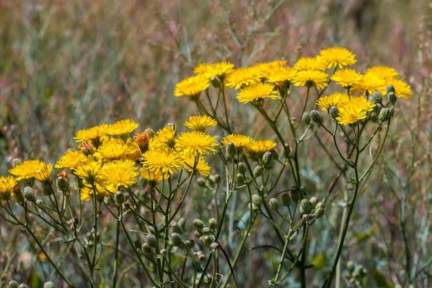 Smooth hawksbeard flower