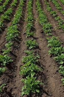 Smooth rows of young potato bushes stretching into the distance the land between them is freshly