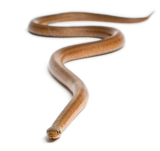 Гладкая змея, coronella austriaca, на белом фоне