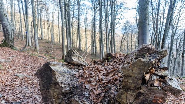 가을 숲에서 걸림돌. 러시아 크라스나야 폴리아나