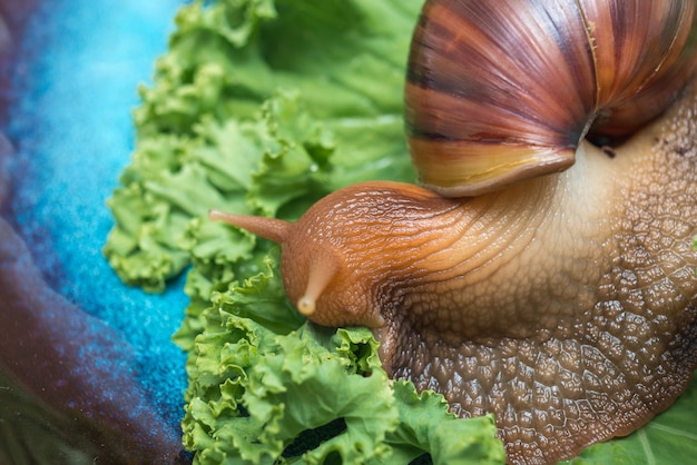 Snail achatina eating lettuce leaves on blue plate. non-allergy pet, home cosmetologist.