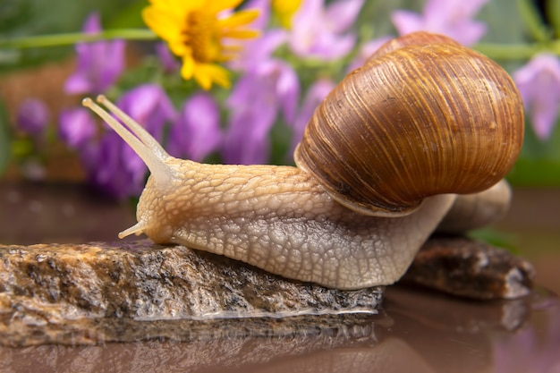 Snail climbs from stone to stone. mollusc and invertebrate. delicacy meat and gourmet food.