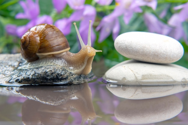 Snail climbs from stone to stone. mollusc and invertebrate