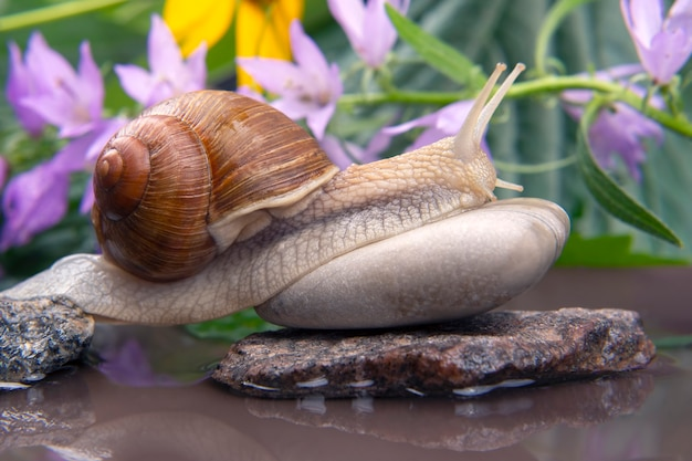 Snail climbs from stone to stone. mollusc and invertebrate.