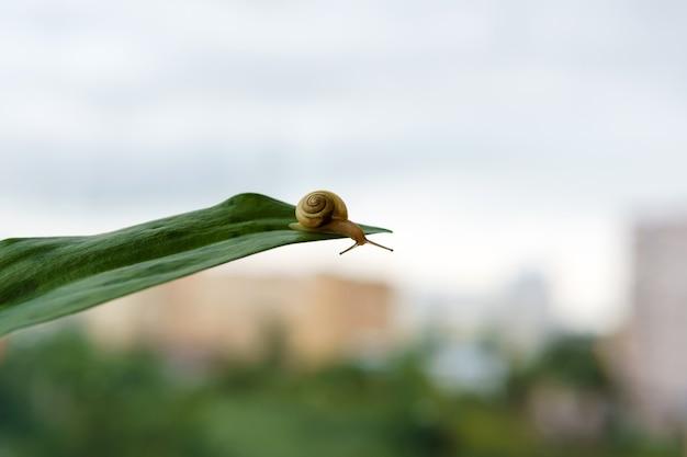 달팽이는 잎 가장자리로 기어가 흐릿한 아침 배경을 내려다본다