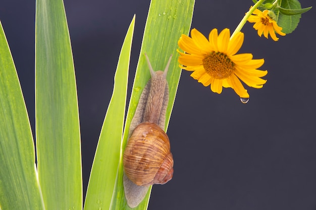 Snail crawling on a green leaf against the background of a yellow flower.