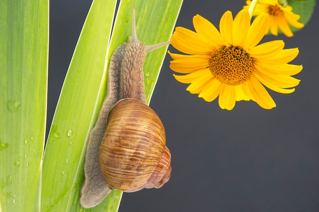Snail crawling on a green leaf yellow flower.