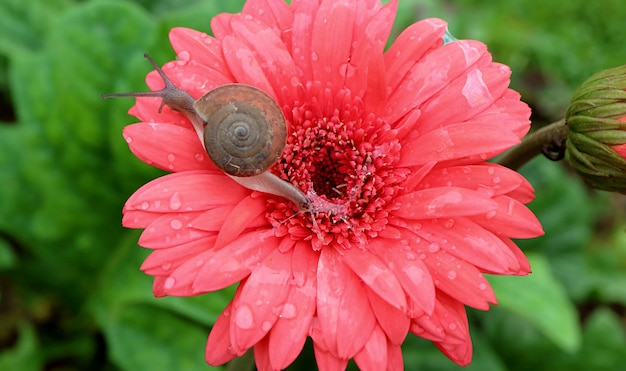 Snail crawling on vivid coral pink blooming gerbera flower while leaving snail mucin on the petals