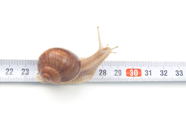 The snail crawls along the measuring ruler. mollusc and invertebrate.