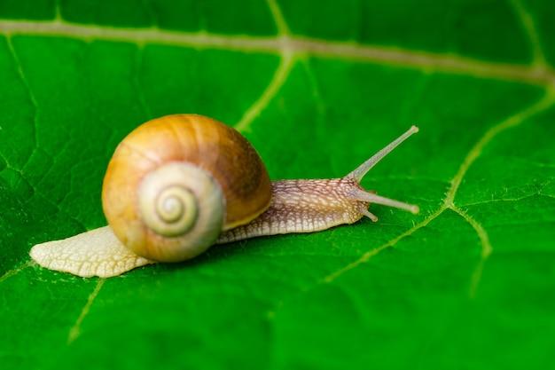Snail in the garden on green leaf.
