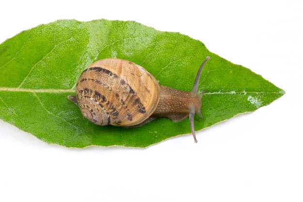 Snail on green leaf, isolated in white background