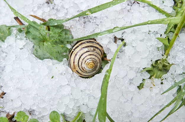 Snail on hail in a winter scene. green plants next to the snail.