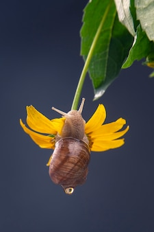 Snail hangs on a yellow flower and eats a petal.