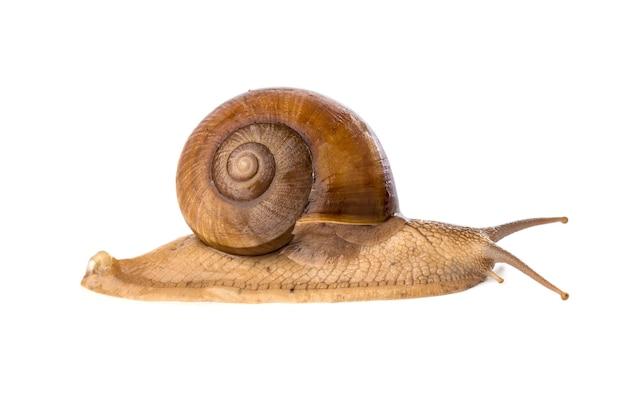달팽이 흰색 배경에 고립입니다.