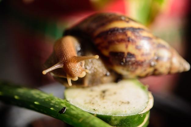 Улитка мюллер скользит по мокрым листьям. крупные белые улитки-моллюски с коричневой полосатой панцирем, ползающие по макрообъективам овощей
