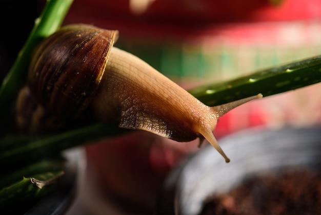 Улитка мюллер скользит по мокрым листьям. большие белые моллюски с коричневой полосатой панцирем, ползающие по овощам