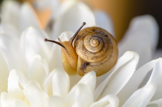 Улитка на белом цветке хризантемы среди света и росы утром