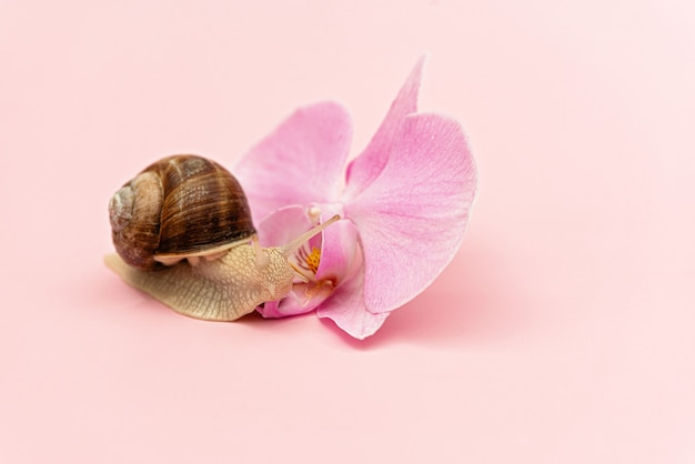 Snail and orchid flower on a pink background. cosmetics with snail mucin, skin hydration, beauty, spa concept. soft selective focus.