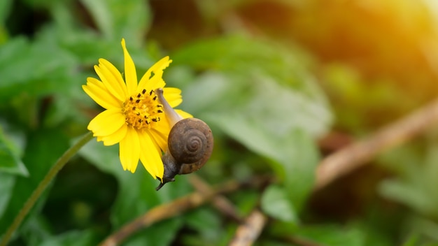 A snail slithering on a yellow jacoba flower.