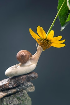 Snail on a stone pyramid is drawn to the scent of a yellow flower. mollusc and invertebrate.