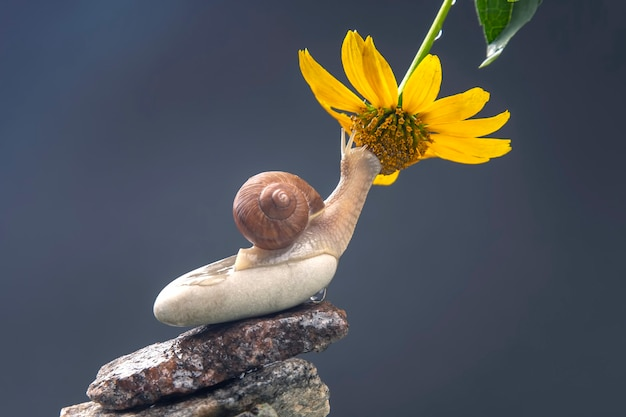 Snail on a stone pyramid is drawn to the scent of a yellow flower.