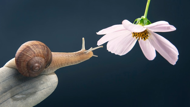 Snail on a stone pyramid stretches to reach a white flower. mollusc and invertebrate.