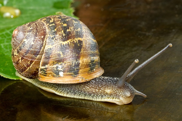 Snail walking on a leaf and on the wood