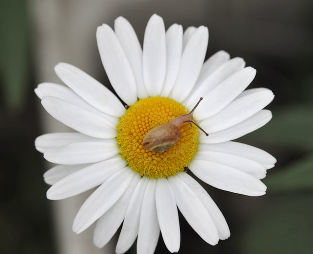 Snail on white camomile - flower