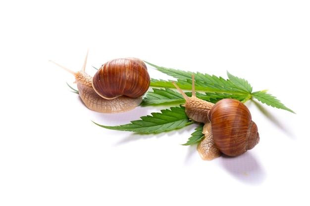 カタツムリと緑の大麻葉