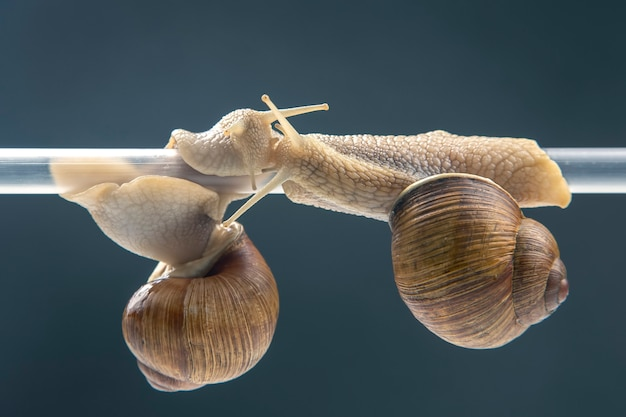 Snails hang from a plastic tube. romance and relationships in the animal kingdom