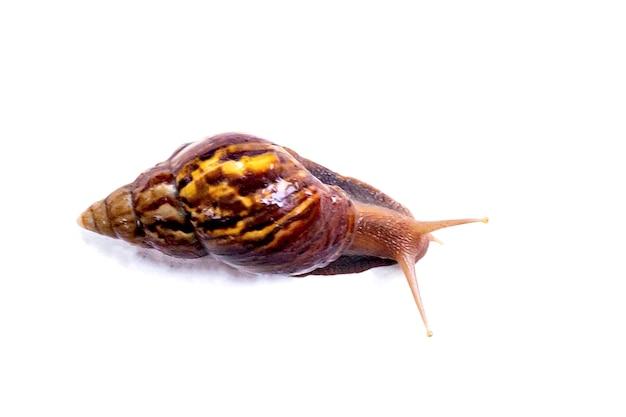 자연의 달팽이, 흰색 절연