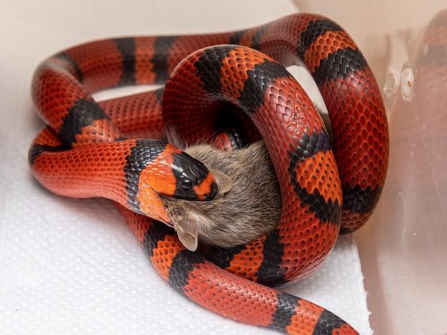 実験室で屠殺されたネズミを食べるヘビ。