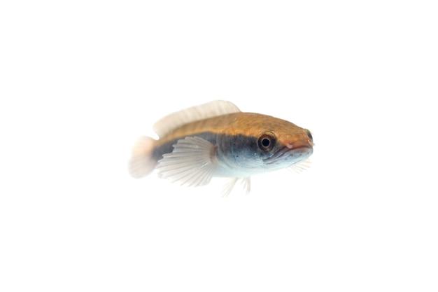 뱀 머리 물고기 흰색 배경에 고립